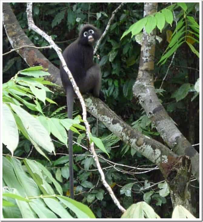 Monkey in Penang