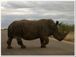 Rhino at Kruger