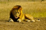 Lion in South Africa