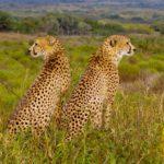 Peering cheetahs