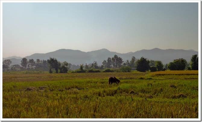 Rice paddies near Chiang Mai