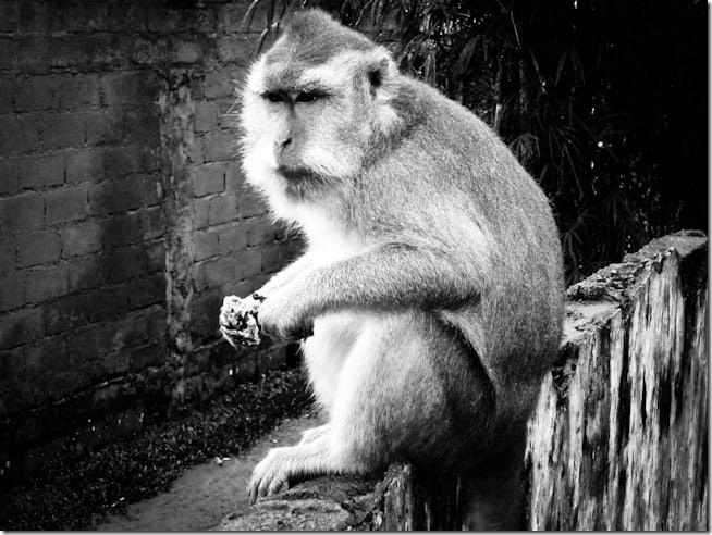Waiting monkey