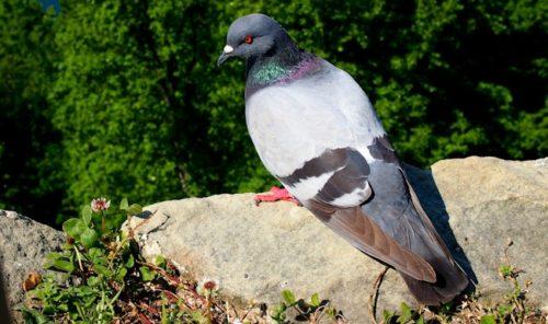 Pigeon in San Sebastian