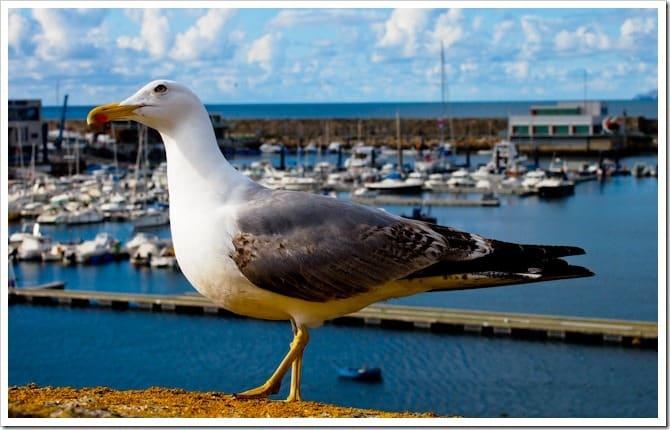 Seagull, La Coruna