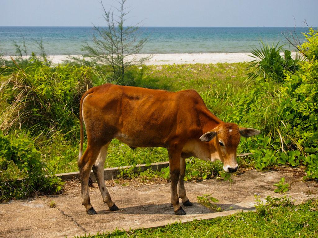 Cow on the beach, Cambodia