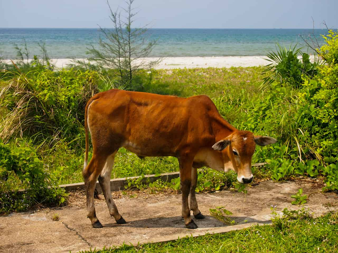 Cow on the beach, Cambodia