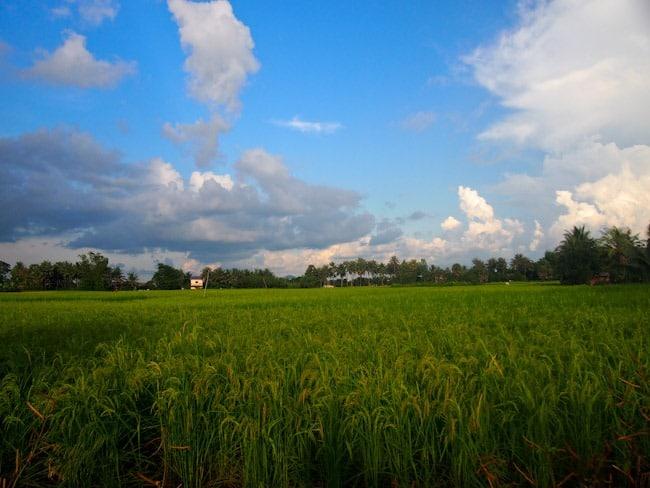Rice fields in Kampot