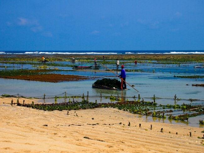 Seaweed farming, Bali