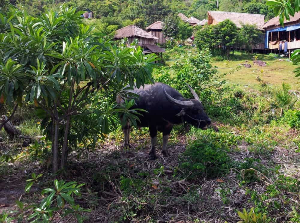 Water buffalo at Paradise Bungalows