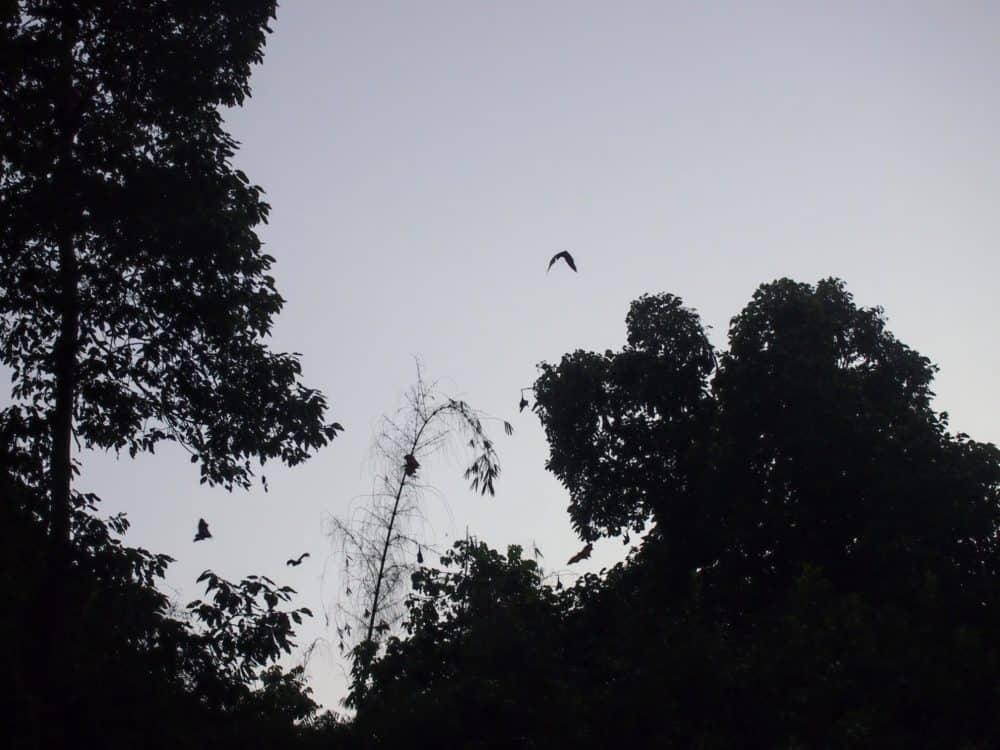 Bats, Mekong Delta