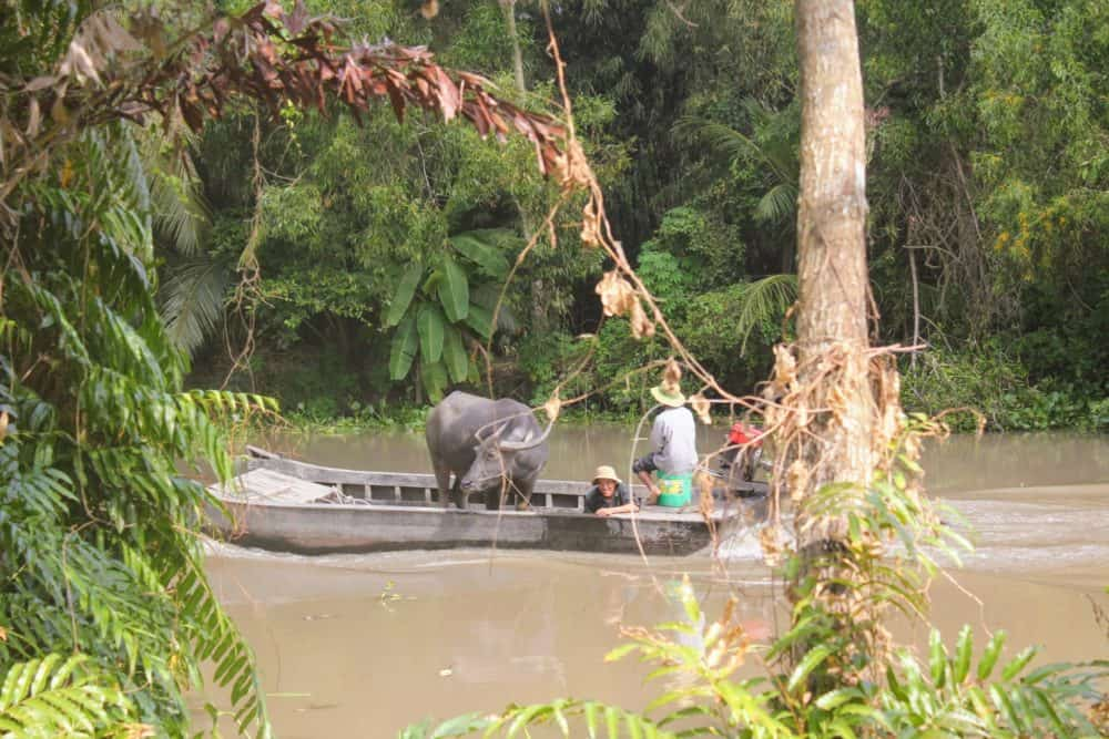 Water buffalo on boat, Mekong Delta