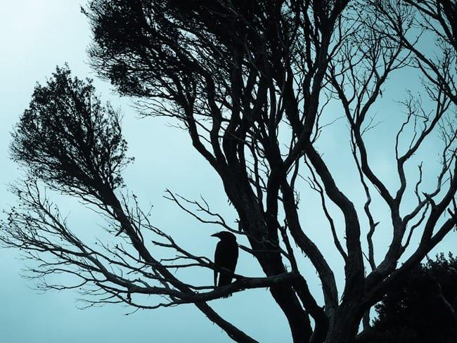 Cradle Mountain crow