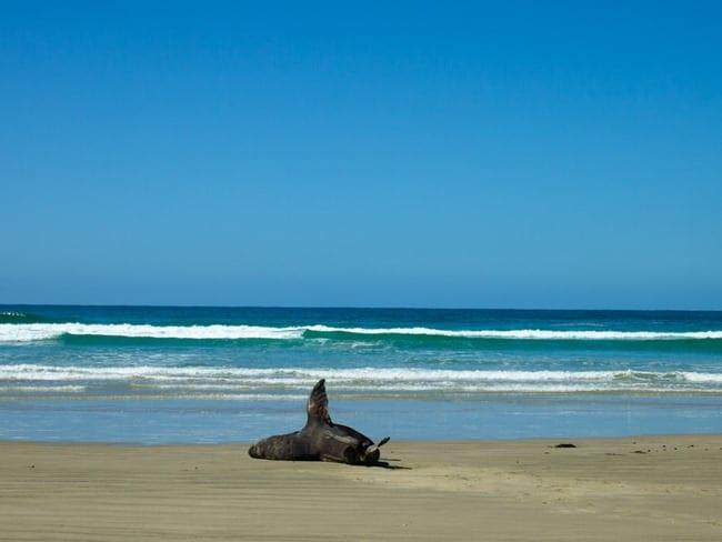 Waving sea lion