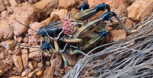 Crickets in Big Bend