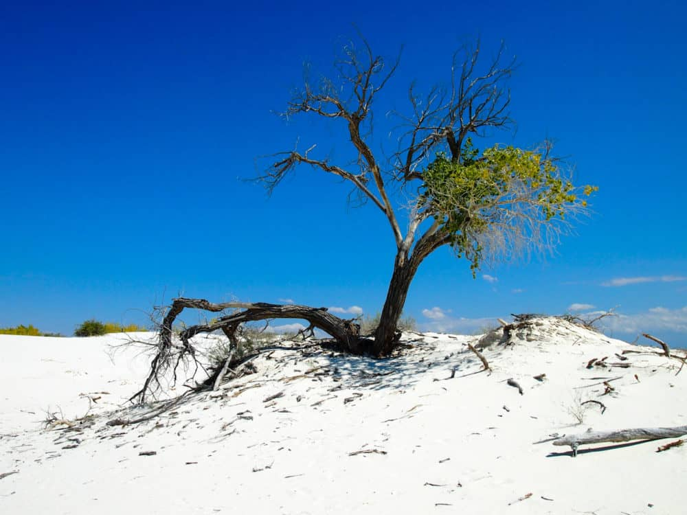 White Sands - tree