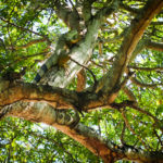 The Friday Photo #186 – Wonder why it's called the Iguana Tree?