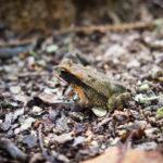 Tiny frog at Coba