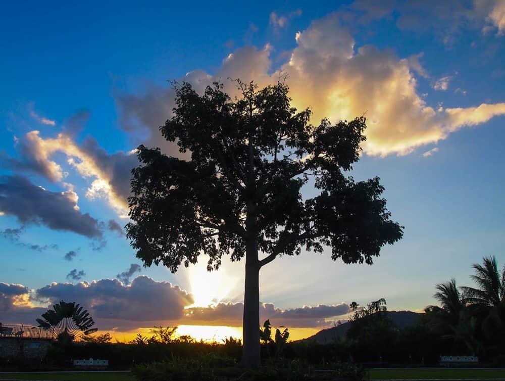 El Ramate tree