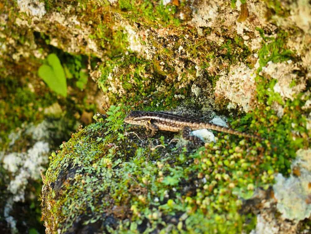 Lizard at Tikal