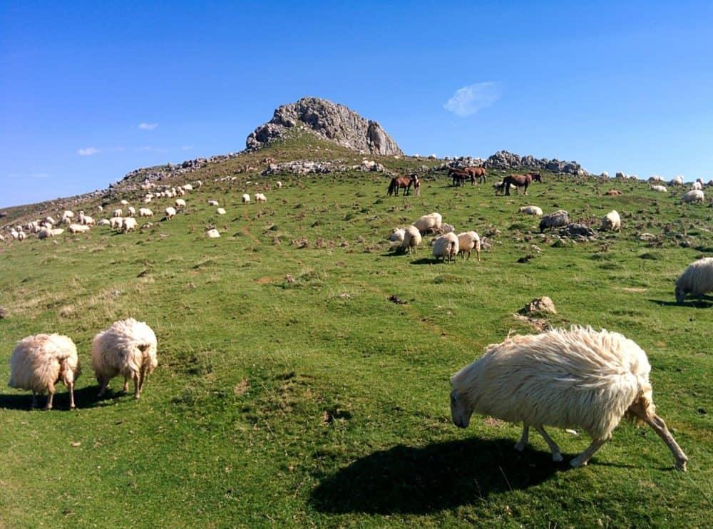 Camino sheep and horses