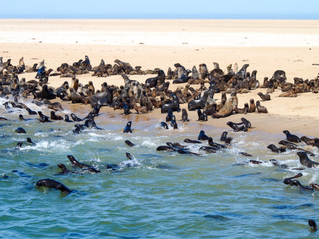 All the seals, Namibia