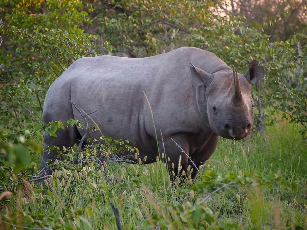 Rhino in Etosha