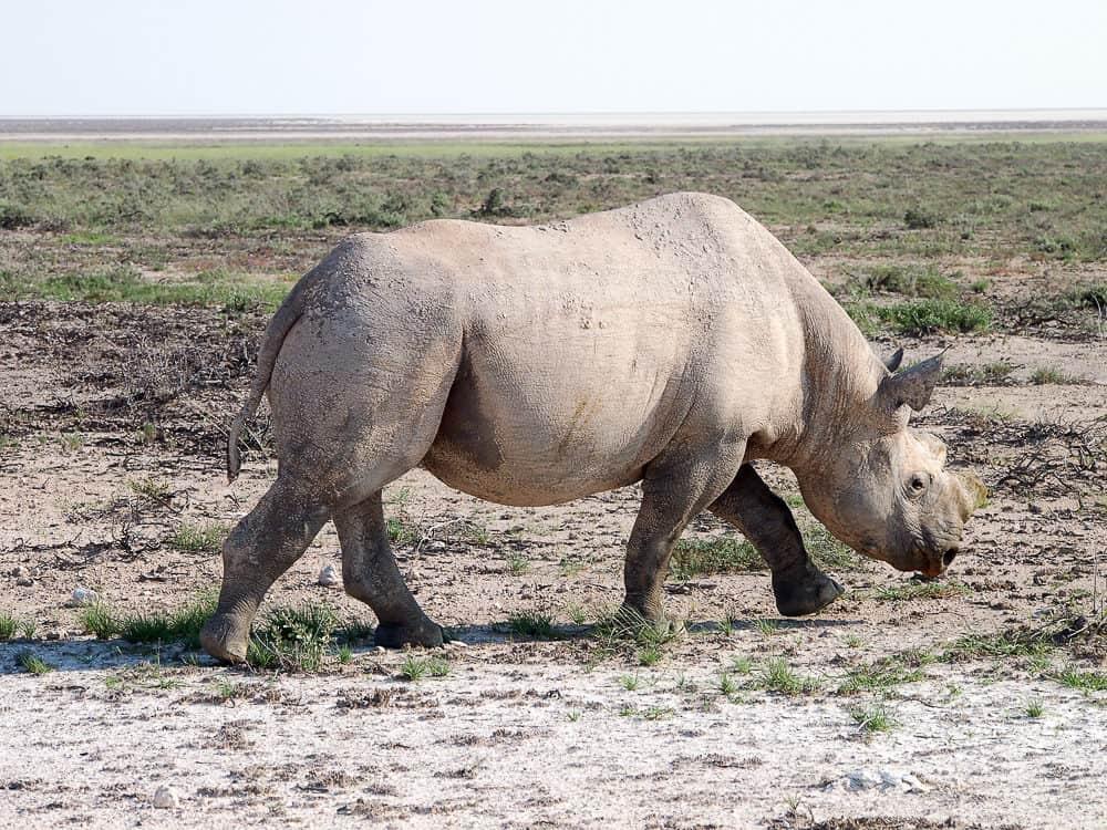 Roadside rhino