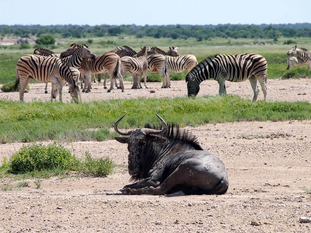 Wildebeest and zebra, Etosha