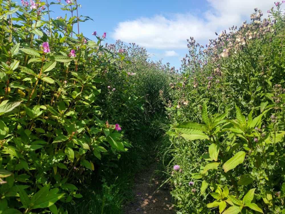Hadrian's Wall Trail, day 5 wildflowers