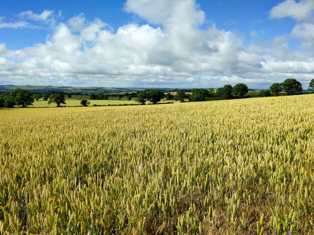 Hadrian's Wall Trail, wheat fields, day 2