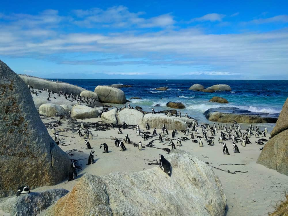 All the penguins, Boulders Bay