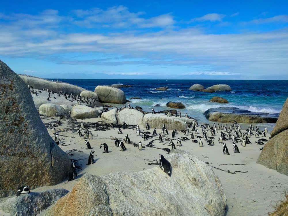 All the penguins, Boulders Bay
