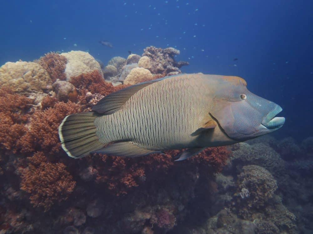 Frank - Great Barrier Reef