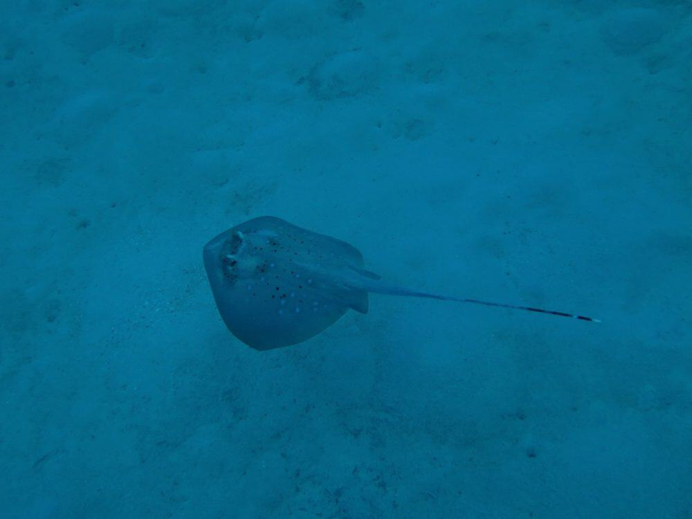Ray on the Great Barrier Reef
