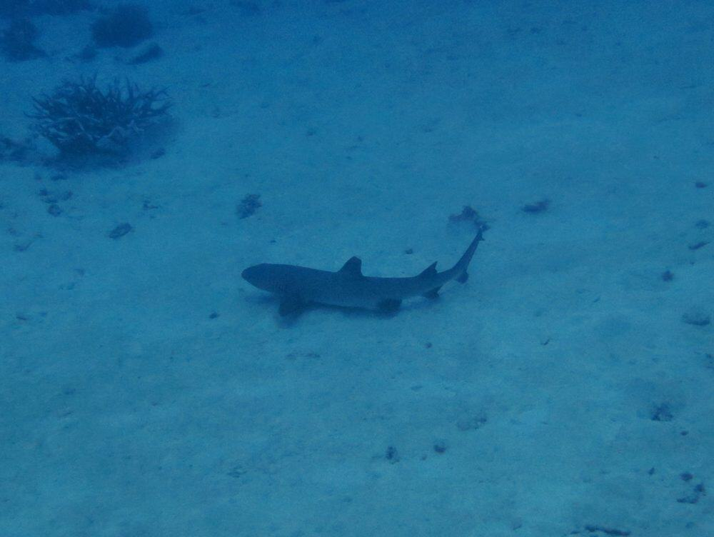 Reef shark - Great Barrier Reef