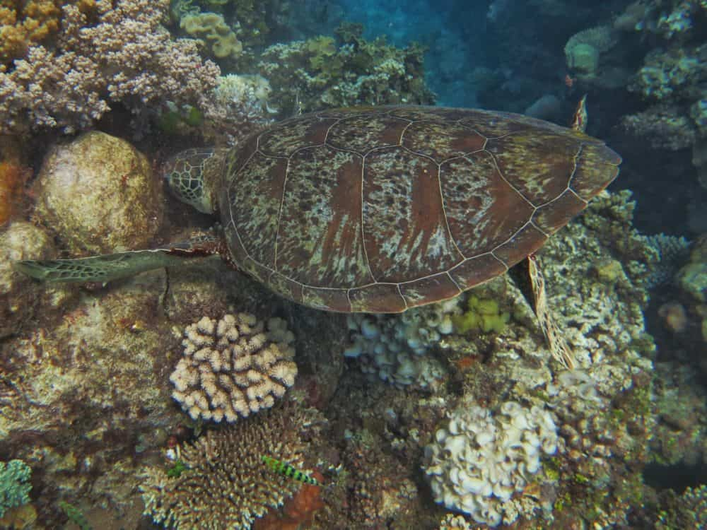 Turtle on Great Barrier Reef