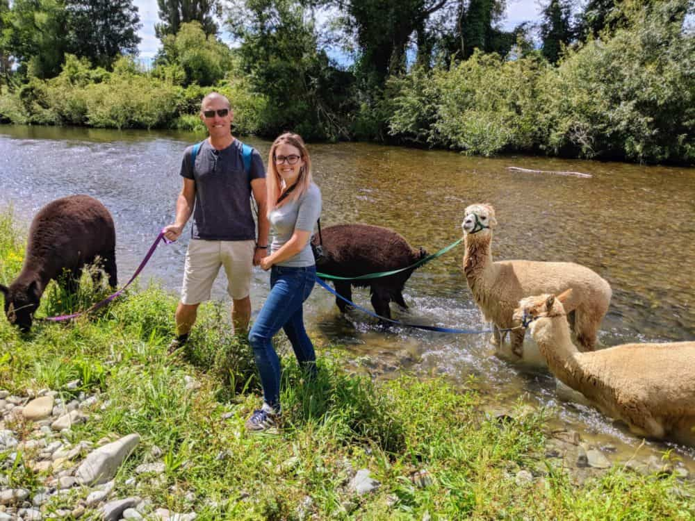 Alpacas in the river