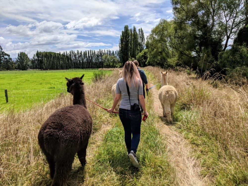 Alpacas on grassy trail