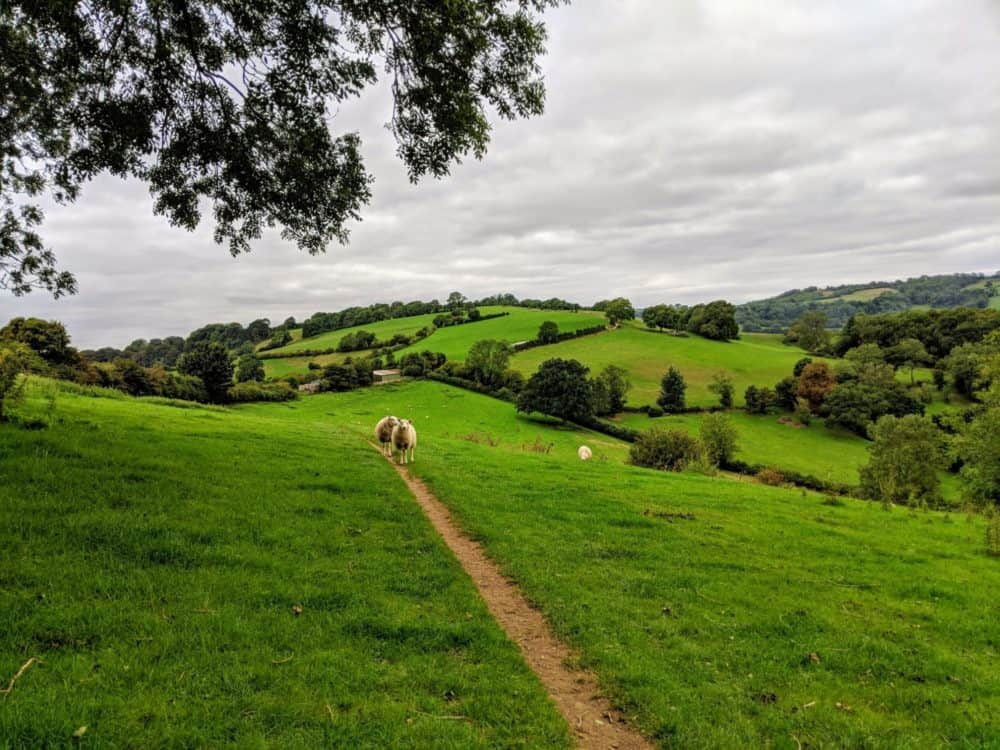 Sheep on the trail, Cotswold Way