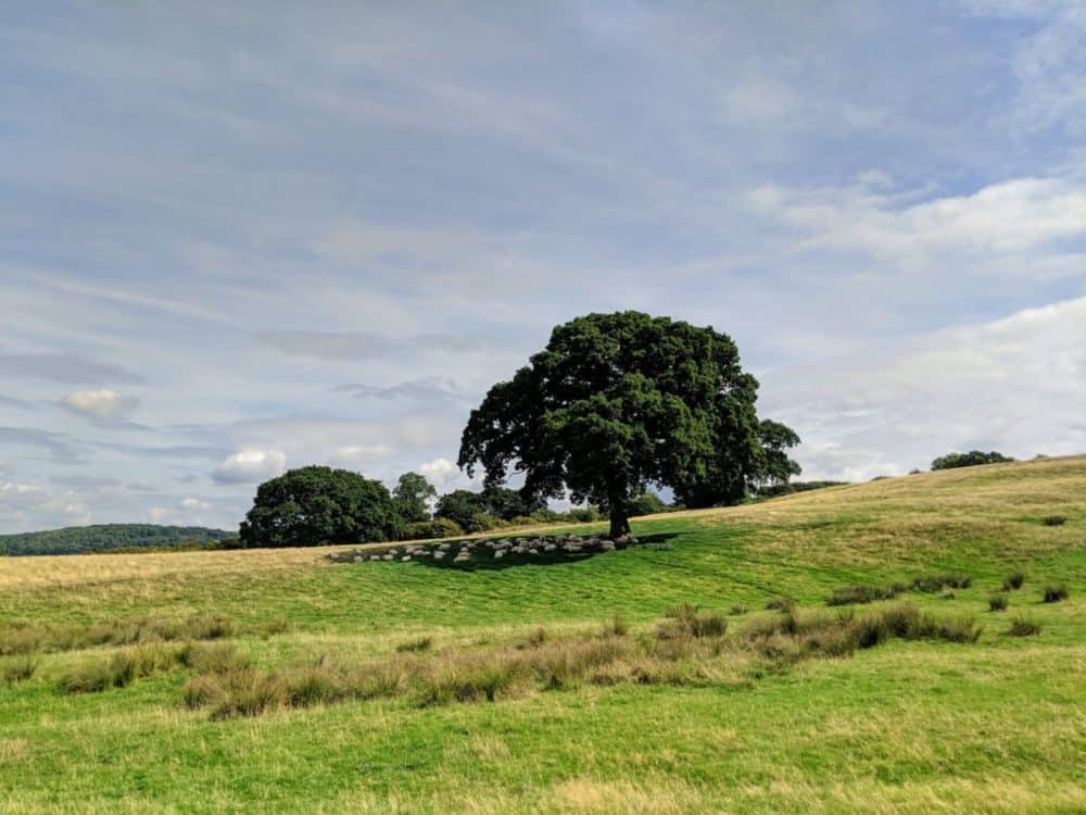 Sheep under a tree, Cotswold Way