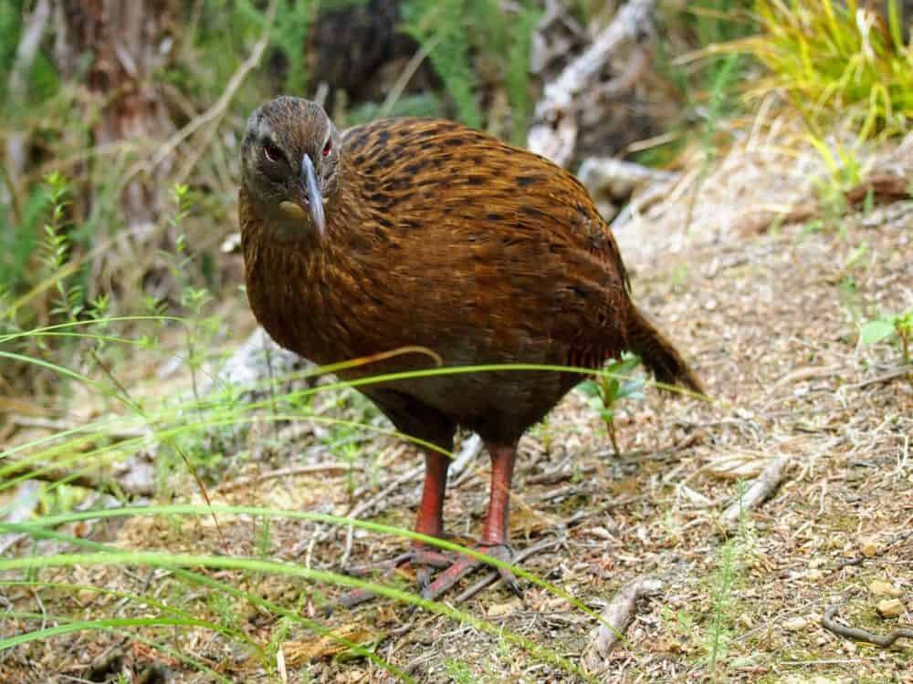 Weka, Queen Charlotte Track